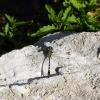 На берегу реки Cetina, стрекоза